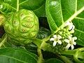 Starr 061108-9760 Morinda citrifolia.jpg