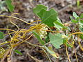 Starr 061129-1694 Chenopodium oahuense.jpg