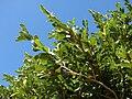 Starr 070111-3186 Ficus pumila.jpg