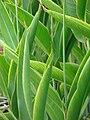 Starr 070730-7751 Heliconia psittacorum.jpg