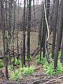 Starr 070908-9294 Sequoia sempervirens.jpg
