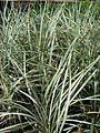 Starr 080117-2142 Ophiopogon japonicus.jpg
