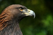 Close-up photograph of the head a Golden Eagle looking right