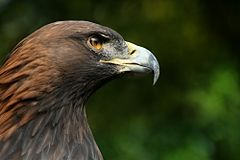 http://upload.wikimedia.org/wikipedia/commons/thumb/e/eb/Steinadler_Aquila_chrysaetos_closeup2_Richard_Bartz.jpg/240px-Steinadler_Aquila_chrysaetos_closeup2_Richard_Bartz.jpg