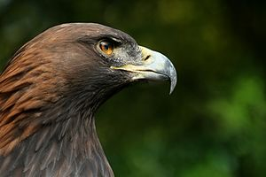 The Golden Eagle Aquila chrysaetos is one of t...