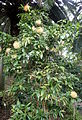 Stifftia chrysantha kz2.JPG