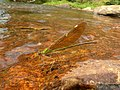 Stream Glory Female from Valparai Anamalai hills P1120032.JPG