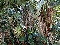 Strelitzia nicolai hg.jpg