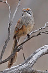 Striated Grasswren (Amytornis striatus) on branch from front