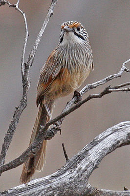 Striated Grasswren (Amytornis striatus) on branch from front.jpg