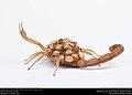 Striped Bark Scorpion (Buthidae, Centruroides vittatus (Say)) (36071999764).jpg