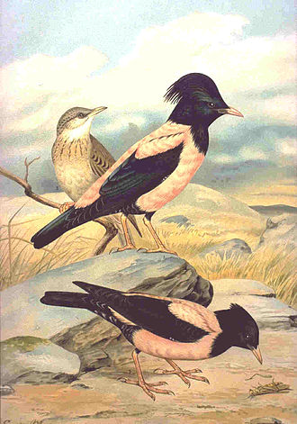 Rosy starling - Summer plumages: Adult male (center). female (below), and juvenile (behind)