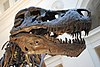 Sue, a Tyrannosaurus rex specimen discovered in South Dakota.