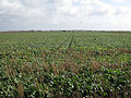 Sugar beet - geograph.org.uk - 1558767.jpg