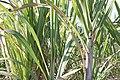 Sugarcane Capanema Maragogipe Bahia 0532.jpg