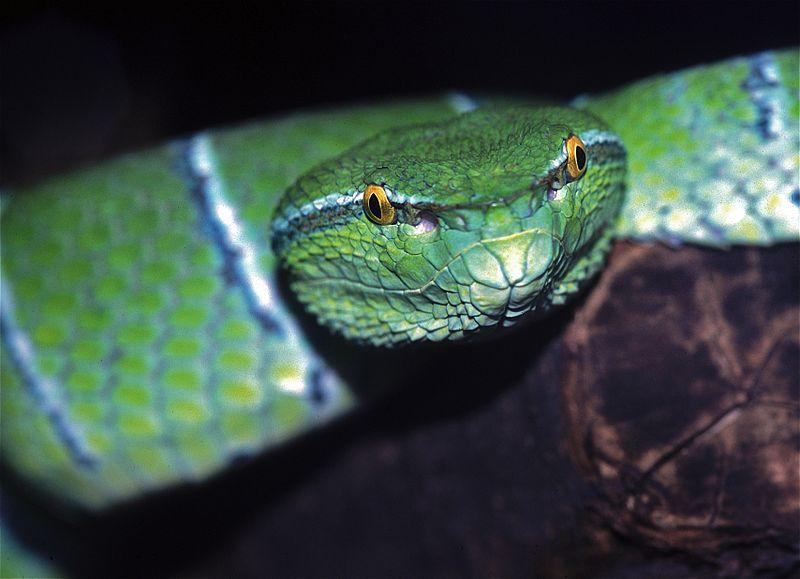 File:Sulawesi Keeled Green Pit Viper (Tropidolaemus subannulatus) (7781267938).jpg