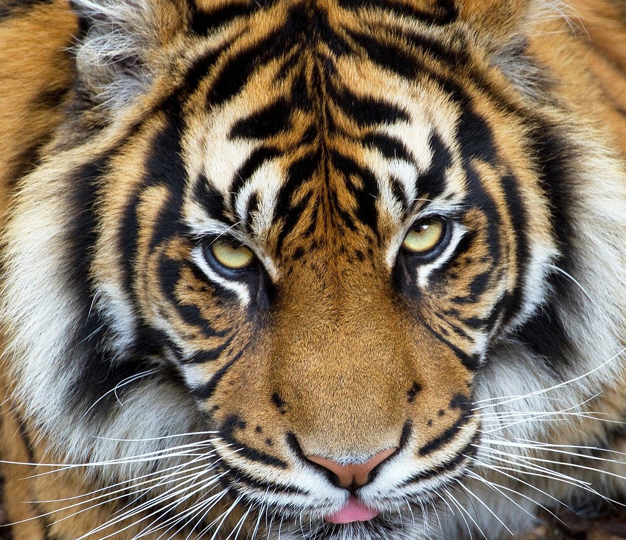 https://upload.wikimedia.org/wikipedia/commons/thumb/e/eb/Sumatran_Tiger_3_%287110769819%29.jpg/1280px-Sumatran_Tiger_3_%287110769819%29.jpg