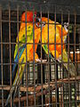Sun Parakeet - Aratinga solstitialis - Ninoy Aquino Parks & Wildlife Center 03.jpg
