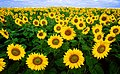 Sunflowers helianthus annuus.jpg