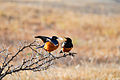 Superb starling Act 1.jpg