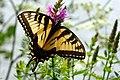 Swallowtail butterfly - Butterfly Place in Westford, Massachusetts.jpg