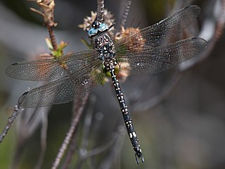 <i>Austroaeschna parvistigma</i> Species of dragonfly