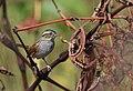 Swamp Sparrow (30267992086).jpg