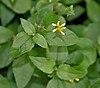 Synedrella nodiflora in Hyderabad, AP W IMG 0444