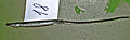Syngnathus abaster1.jpg
