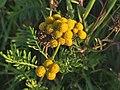 Tanacetum vulgare 108056334.jpg