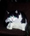 Tapetum lucidum domestic cat.png
