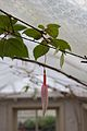 Tatton Park 2015 46 - Fuchsia.jpg