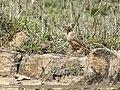 Tawny Pipit (Anthus campestris) (32752107838).jpg