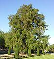 Taxodium mucronatum Retiro.jpg