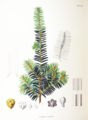 Taxus cuspidata SZ128.png