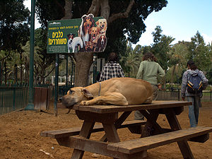 Dog park - A Great Dane lounges on a picnic table in Meir Park, Tel Aviv.