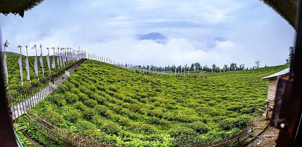 Temi Tea Garden Panoramic View
