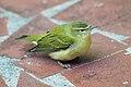 Tennessee Warbler (4789969476).jpg