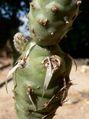 Tephrocactus articulatus 2.jpg
