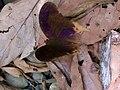 Terinos clarissa ssp. malayanus.jpg