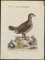 Tetrao canadensis - 1700-1880 - Print - Iconographia Zoologica - Special Collections University of Amsterdam - UBA01 IZ17100355.tif