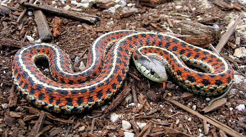 Coastal Garter Snake