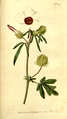 The Botanical Magazine, Plate 209 (Volume 6, 1793).png