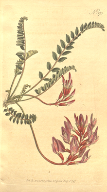 The Botanical Magazine, Plate 375 (Volume 11, 1797).png