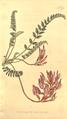 The Botanical Magazine, Plate 375 (Volume 11, 1797).png