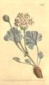 The Botanical Magazine, Plate 477 (Volume 14, 1800).png