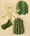 The Cactaceae - descriptions and illustrations of plants of the cactus family (1919) (14782869702).jpg
