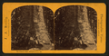 The Grizzly Giant, Mariposa Grove, Cal, by Reilly, John James, 1839-1894.png