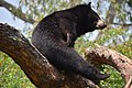 The Himalayan black bear (Ursus thibetanus) is a rare subspecies of the Asiatic black bear. 08.jpg