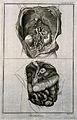 The anatomy of the abdomen, showing the kidneys, the intesti Wellcome V0007848.jpg